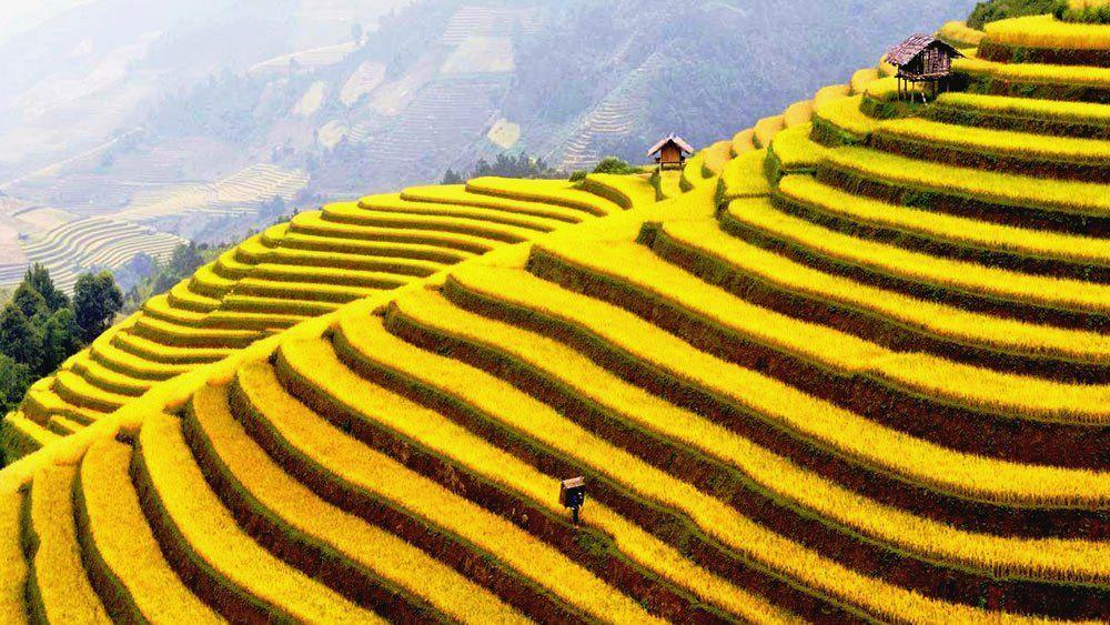 Thóc nấu rượu được lấy từ những hạt lúa nương ta trồng ruộng bậc thang