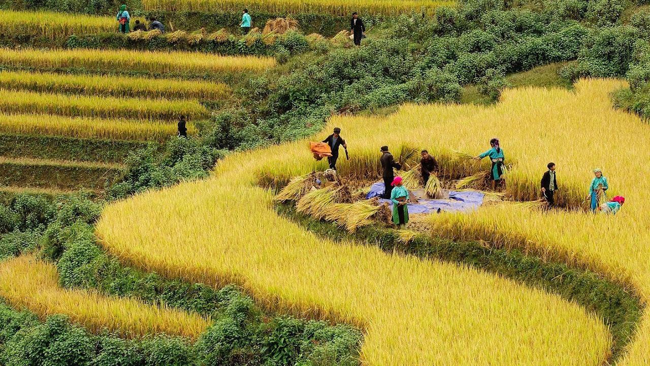 Lúa được thu hoạch khi mới bắt đầu chín vàng