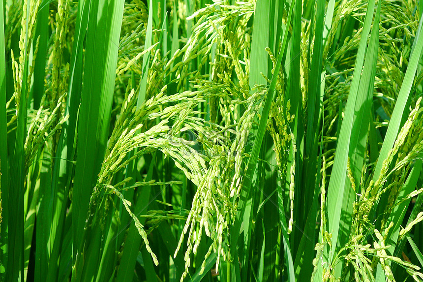 Đòng đòng là những bông lúa nếp non của cây lúa.