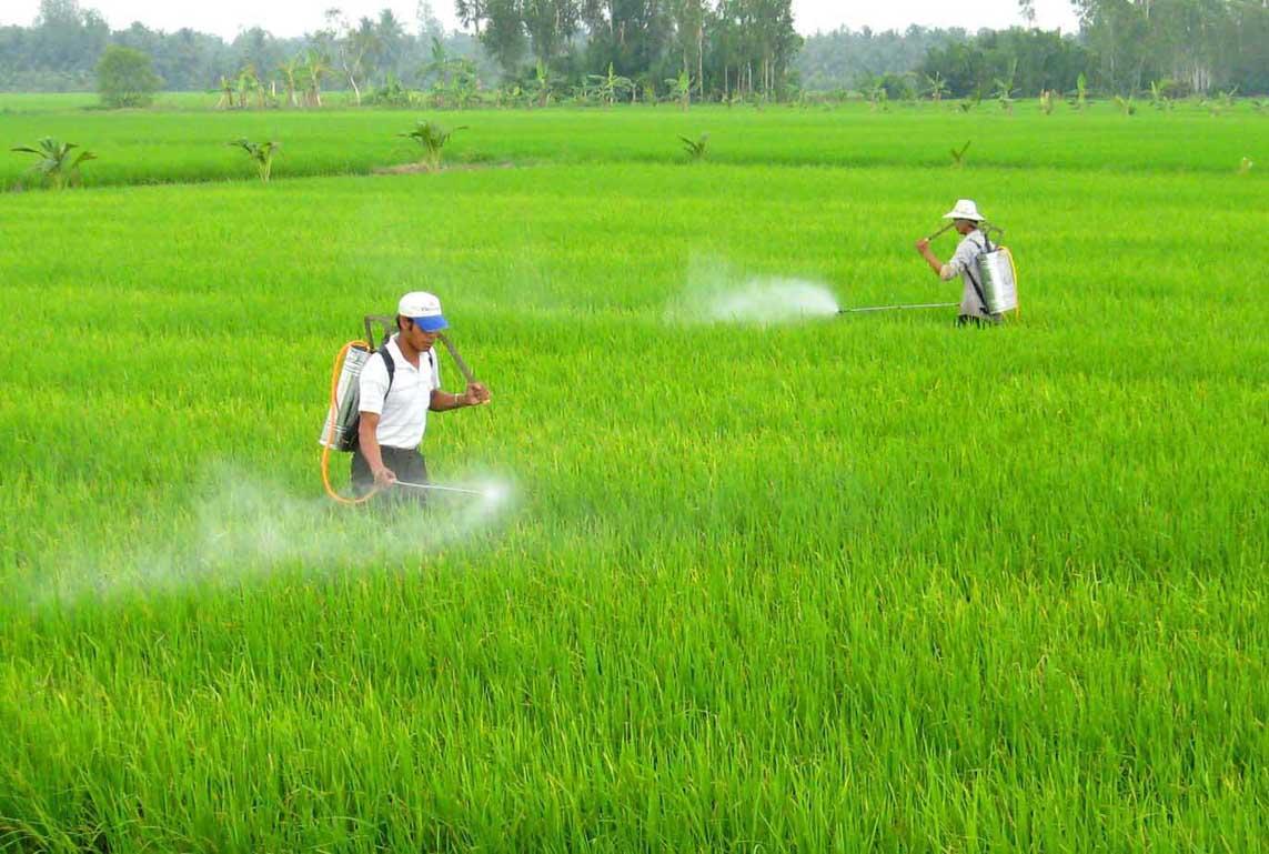 Vào thời kỳ trổ đòng, lúa được phun rất nhiều các loại thuốc trừ sâu bệnh.
