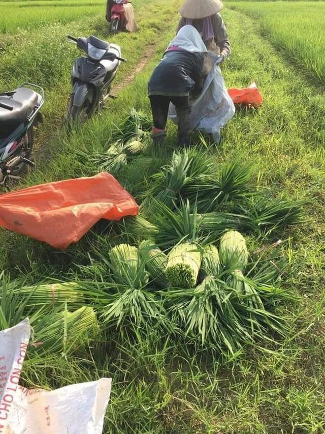 Đòng đòng được thu hoạch ở những ruộng kém năng suất, hạn nước.
