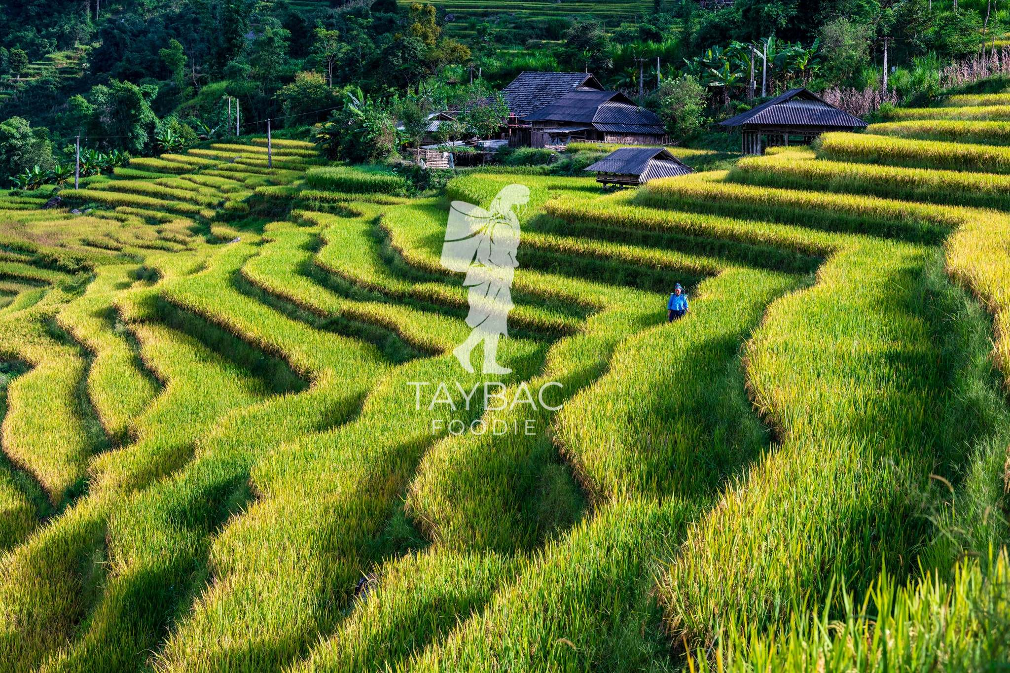 Vùng trồng nếp Séng Cù, nếp cái hoa vàng an toàn chuẩn Organic